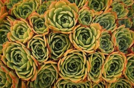 Merit Experienced Print Open A Crush of Succulents Photographer Bill Gilbert