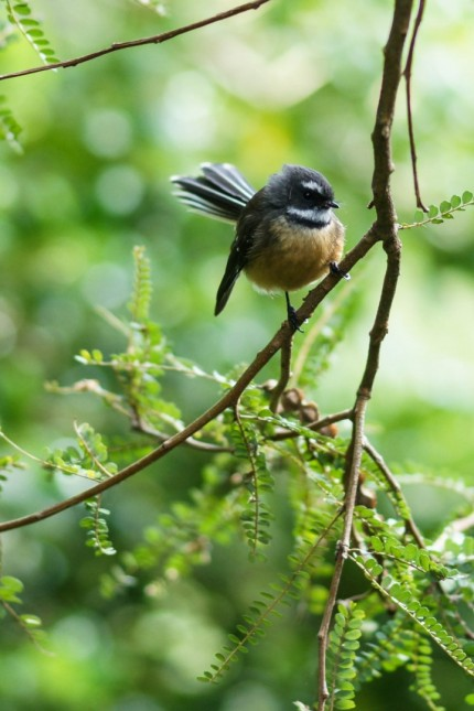 Fantail - Photography Ray Lovell