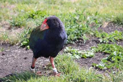 Takahe Mana Island - Photography Chris Hogan