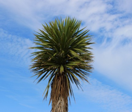Cabbage Tree - Photography Chris Hogan