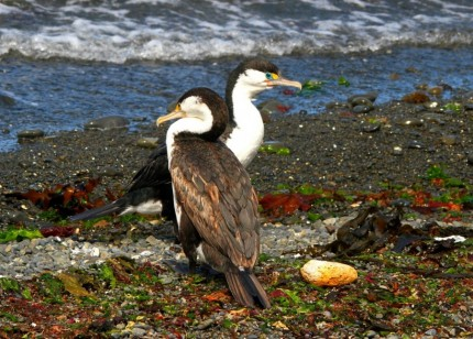 Shags on Watch - Photography Chris White