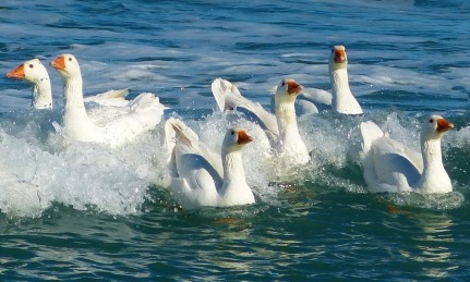 Surfing Geese