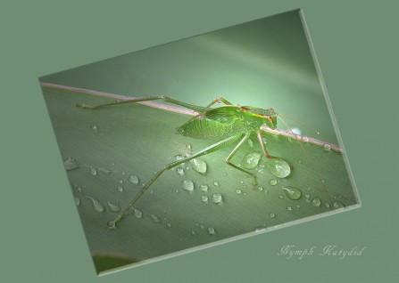 Title: Nymph Katydid, 4th=, Photographer: Margaret Hobbs, Judge's Comments: An interesting arrangement which I appreciate, but I would like this also as a image just of the Katydid without the outer frame I think. The Katydid is lovely and sharp throughout including the water droplets, and the angle you have placed it on has a nice diagonal running through it. Not sure of putting the name on the image personally?