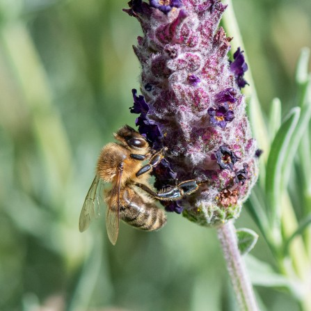 Title: Being a Bee, Judge's Comments: Great focus and view of the bee and lavender. You can afford a small crop of the left and bottom so the bee is more on the third, but just a small amount. Well caught as they don't stay still for long.