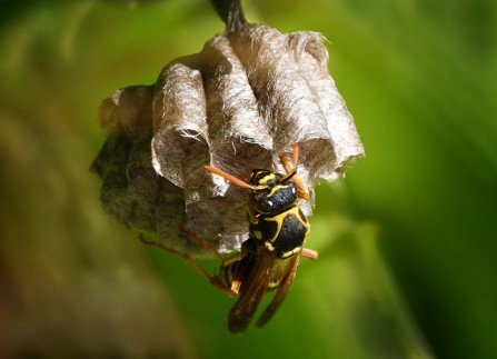 Title: Paper Wasp, Judge's Comments: Good out of focus background. Would have been good if you were able to view this more from the side and capture a little more of the wasp in focus. Use a reflector or a torch to light the bottom of the image more. I know you have 3 hands!