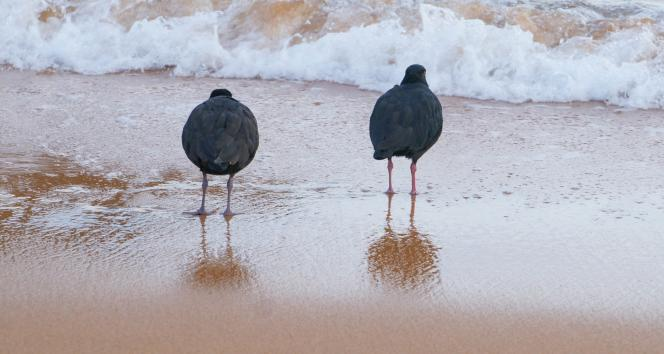 Oyster Catchers  Photography By Ray Lovell