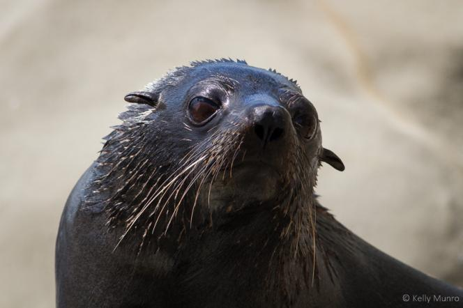 New Zealand Fur Seal by Kelly Munro