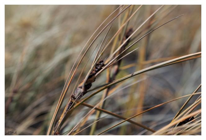Dune Grasses- photo by Kate Hall